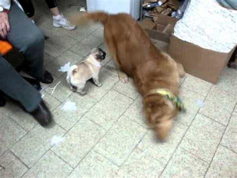 pug vs baby baby pug vs golden retriever