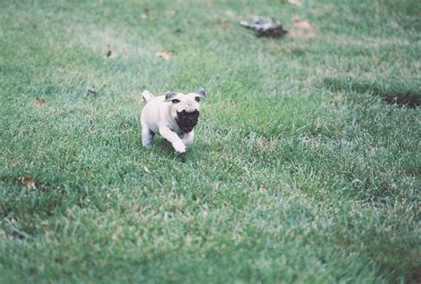 can pugs run 17 best images about pugs d on me a pug and posts
