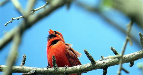wild birds unlimited do cardinals mate for life