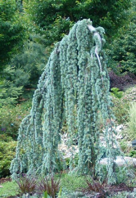 weeping blue atlas cedar plants on demand