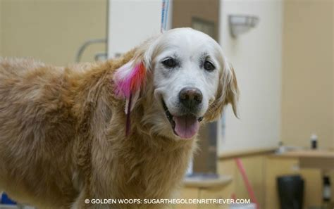 petsmart puppy grooming glam your with pet expressions petsmartgrooming golden woofs