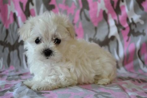 dogs for sale utah best 25 maltipoo puppies for sale ideas on maltipoo for sale teacup