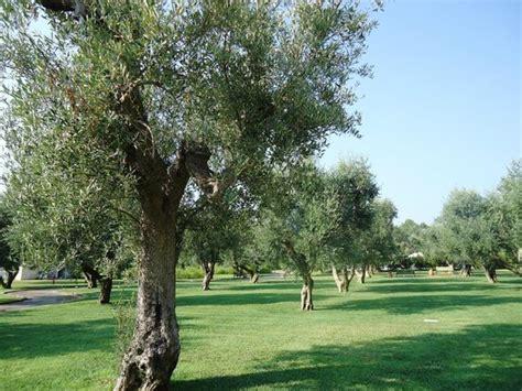 giardini con ulivi il giardino con gli ulivi foto di iberotel apulia