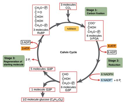 rearrange this kolkatamakeshaltbangkokitarefuellingatofffor takes what happens during the calvin benson cycle or reaction socratic