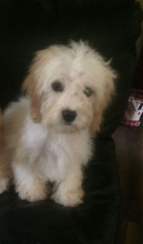 Small Dogs Home Walsall Cavachon Puppies Walsall West Midlands Pets4homes