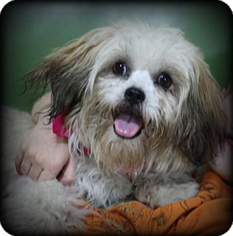 shih tzu lhasa apso mix information pet not found