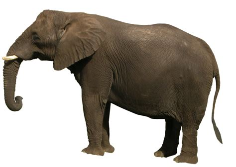 Elephant PNG by WDWParksGal-Stock on DeviantArt