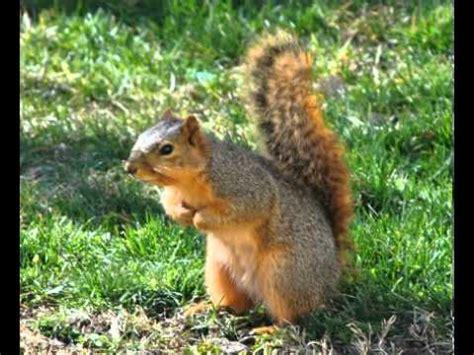fox squirrel vs gray squirrel www pixshark com images