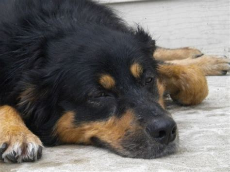 rottweiler shepherd mix meyna australian shepherd rottweiler 4 years meyna is a beautiful 4 year