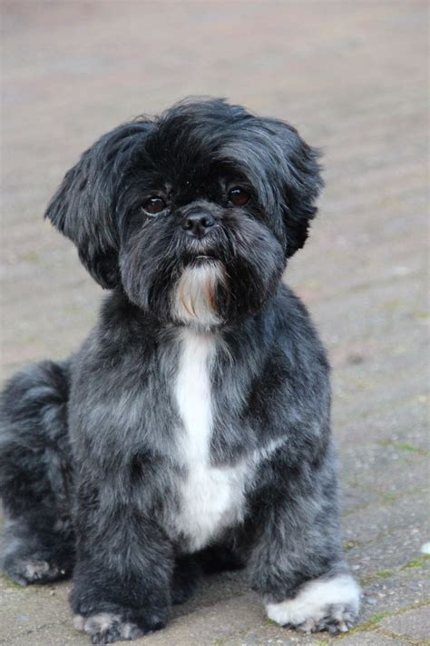 shih tzu around 22 best shih tzu grooms images on shih tzus baby puppies and grooming