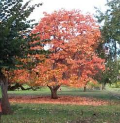 Oklahoma Fruit Trees - the oklahoma native persimmon