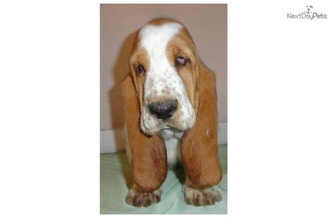 european basset hound puppies for sale basset hound puppy for sale near blacksburg virginia 0c3857ef ead1
