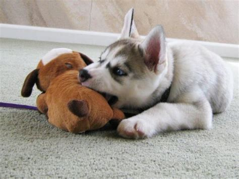 how can i trained my how i trained my husky puppy