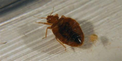 picture of a bed bug facts about bed bugs hole in one pest solutions
