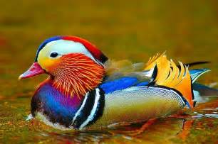 colorful ducks amazing world beautiful colorful birds nature