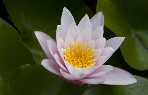 foto fiori di loto foto di fiori di loto archivio fotografico soft