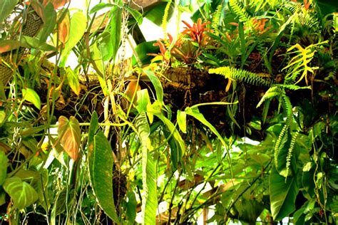 what plants grow in a tropical rainforest epiphyte tree in the rainforest tropical plants