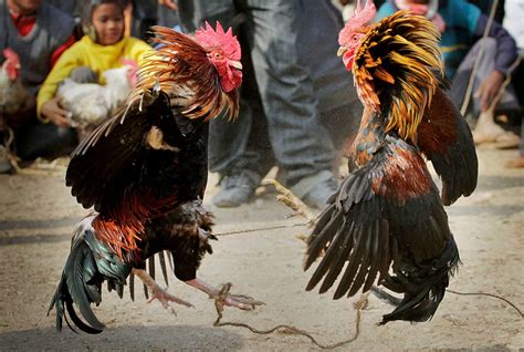 peleas de gallos mexicanos en m 233 xico podr 237 an prohibirse las agresivas peleas de