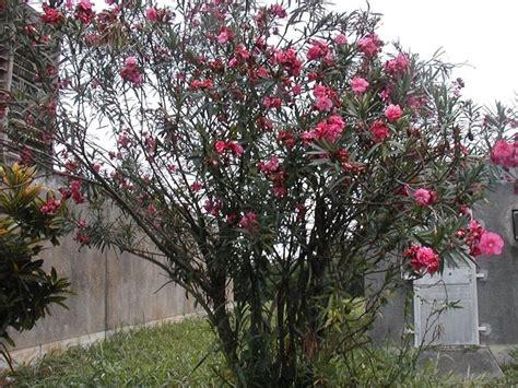 alberi da giardino sempreverdi a crescita rapida alberi a crescita rapida alberi da giardino tipologia