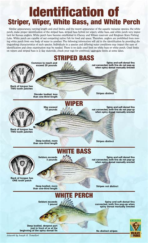 Striper White striper hybrid white bass white perch white bass