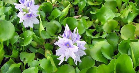 imagenes de flores sobre el agua palabra de ana bella flor de camalote