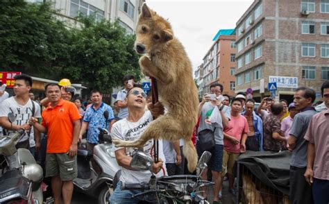 yulin festival in china china s vile yulin festival will go ahead tomorrow as officials say claims