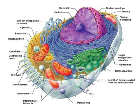 printable animal cell diagram printable diagrams of a cell diagram site