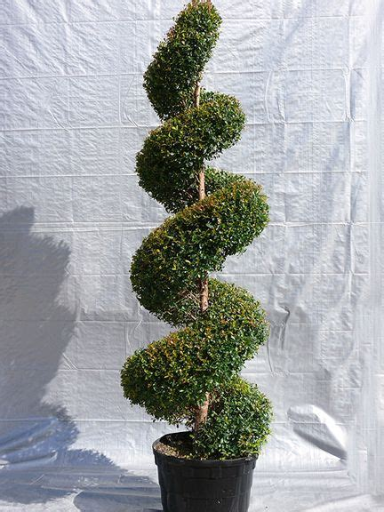 spiral bushes google search the great outdoors pinterest