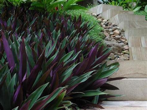 buy plants  rhoeo dwarf moses   cradle
