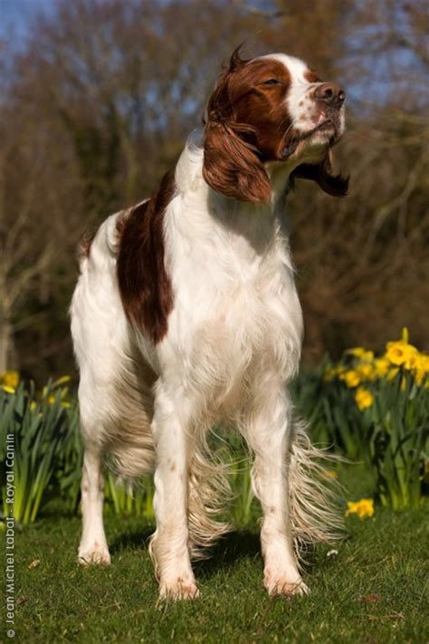 windfall farm english setters hunting dog breeders irish red and white setter dogs fci 7 pointers
