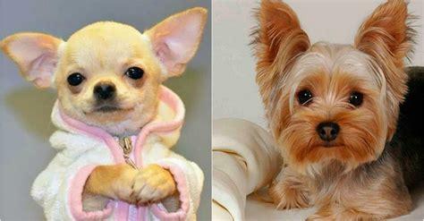 imagenes cool de animales 6 razas de perros m 225 s peque 241 as y adorables del mundo