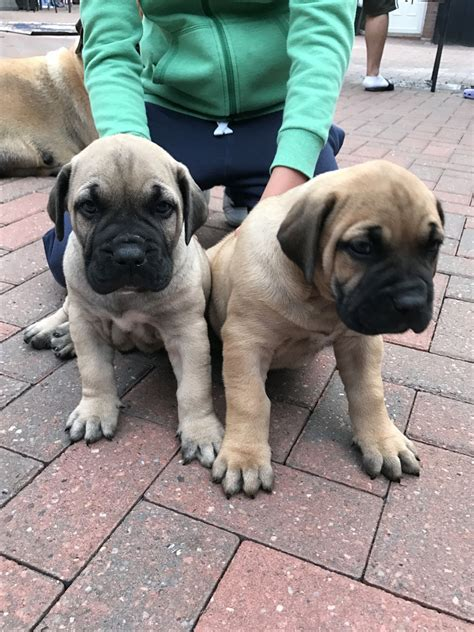 presa canario puppies for sale in presa canario puppies for sale coventry west midlands pets4homes