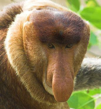 scimmia sedere rosso alcuni degli animali pi 249 strani mondo santagatando