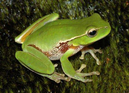 imagenes de ranas animadas navideñas cuestionario sobre las ranas 187 ranapedia