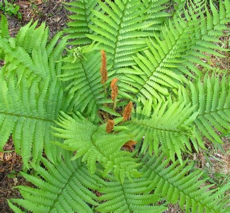 cinnamon fern save our green