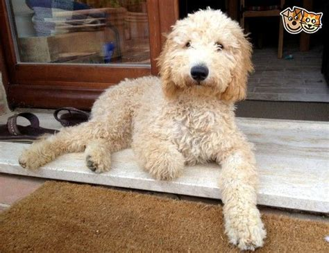 goldendoodle puppy food calculator 17 best images about my goldendoodle quot sam quot friends on