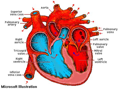 the four hollow sections of the heart anatomy pig heart dissection