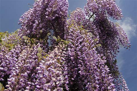 wisteria royal purple hello hello plants garden supplies