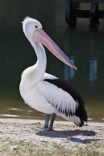 pelican l pelican wikip 233 dia