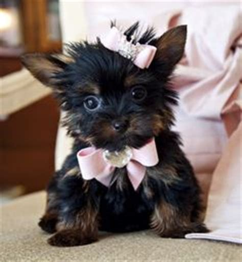 teacup yorkie hair 1000 images about teacup yorkie on hair bows teacup yorkie and yorkie