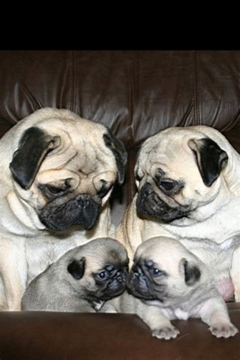pugs as family pets pug family animals but mostly pugs