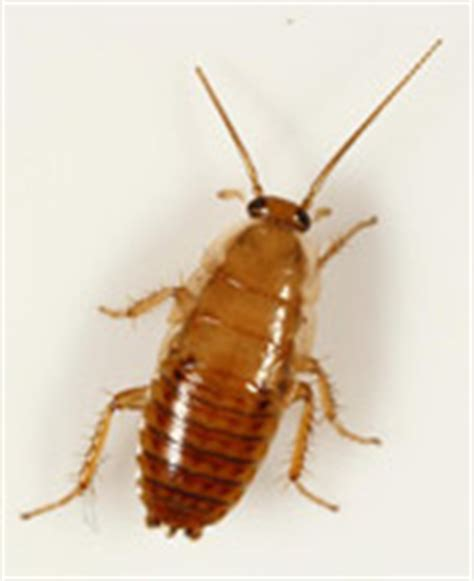 Do Bed Bugs Antennas by What Do Bed Bugs Look Like Bugs That Look Like Bed Bugs