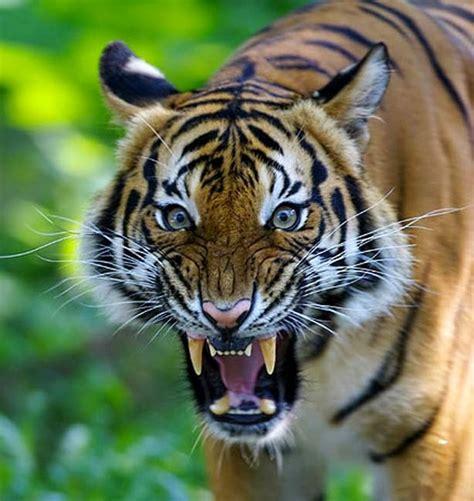 harimau sumatera khas daerah jambi indonesia hewan