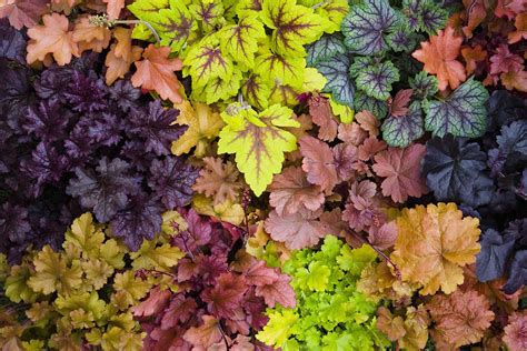 Living Room Decorating Ideas For Small Spaces how to grow heuchera organically