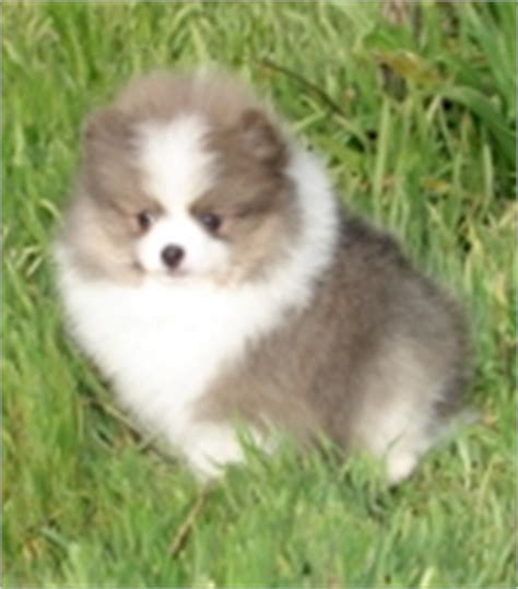 free pomeranian puppies in arkansas pets jacksonville ar free classified ads
