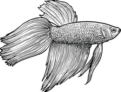 betta fish illustrations royalty  vector