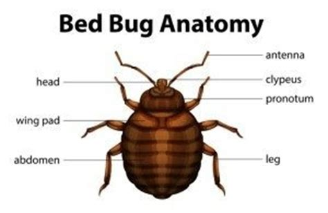 do bed bugs stay on your body everything about bed bugs fischer s pest control