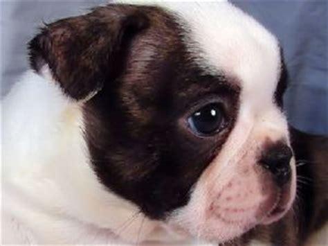 boston terrier puppies arkansas boston terrier puppies in arkansas