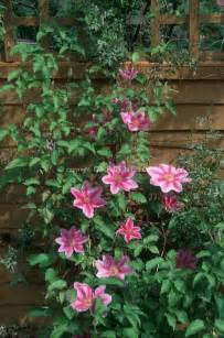 Pink Flowering Climbing Plants - pin by catherine byrne on clematis vines pinterest