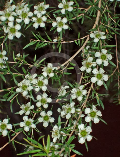 leptospermum petersonii lemon scented tea tree information photos